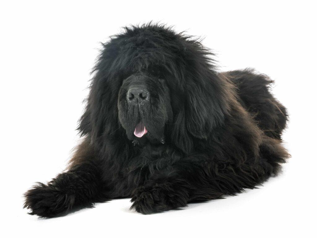 [Resim: tibetan-mastiff-in-studio-BDKCXEY-min-1024x770.jpg]